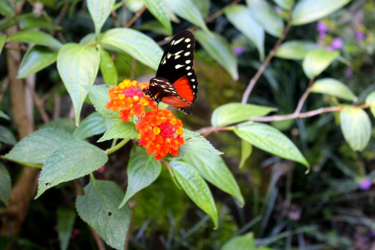 Monteverde Lodge Gardens Butterfly